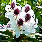 Speckled Rhodie by Trevor Kersley