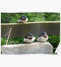 Swallow Chicks  Poster