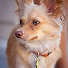Rusty the Chihuahua by psnoonan