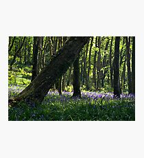 Courtmacsherry Bluebells Photographic Print