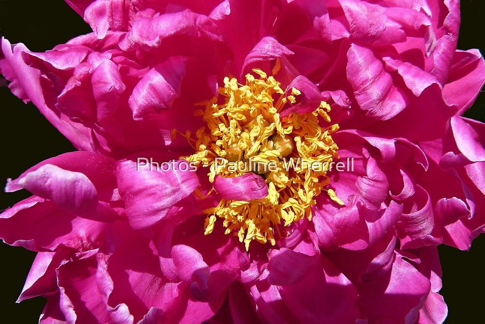 Pink beauty by Photos - Pauline Wherrell