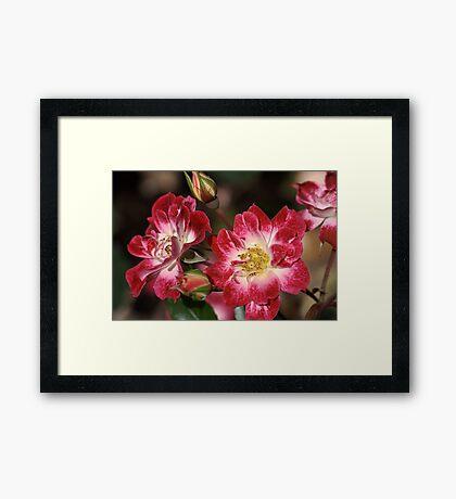 flower-cream-pink-red-roses Framed Print