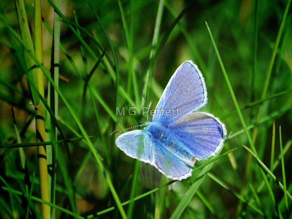 Common Blue Butterfly by M G  Pettett