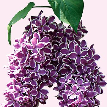 Two-Toned Lilacs by SudaP0408
