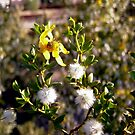 Creosote Bush by Shulie1