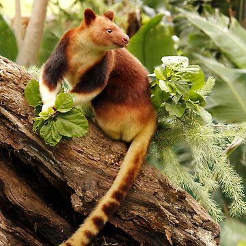 Goodfellows' Tree Kangaroo by Sandra
