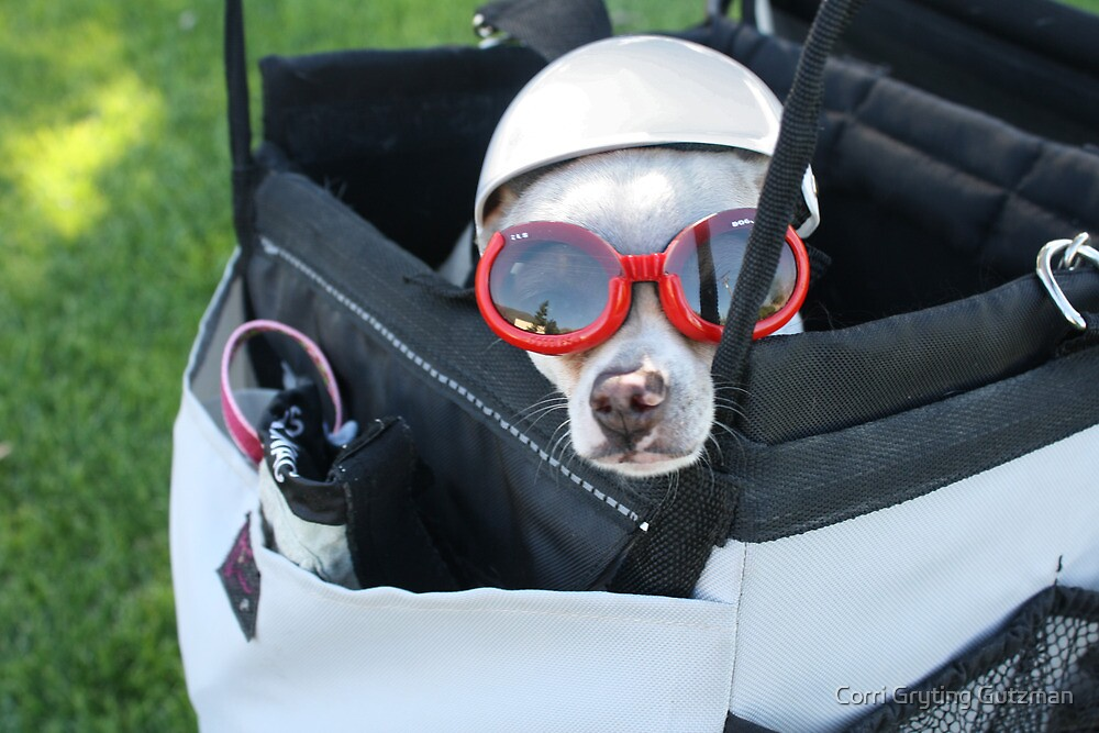 Chihuahua Demonstrates Napping Techniques in Goggles and Helmet by Corri Gryting Gutzman