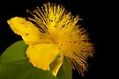Yellow Rose of Sharon by DonDavisUK