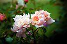 Rose Garden by John Dalkin