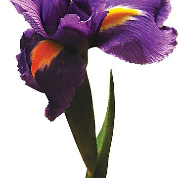 One Purple Iris  by SudaP0408