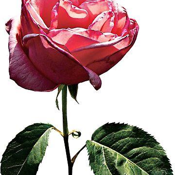 Delicate Pink Rosebud by SudaP0408
