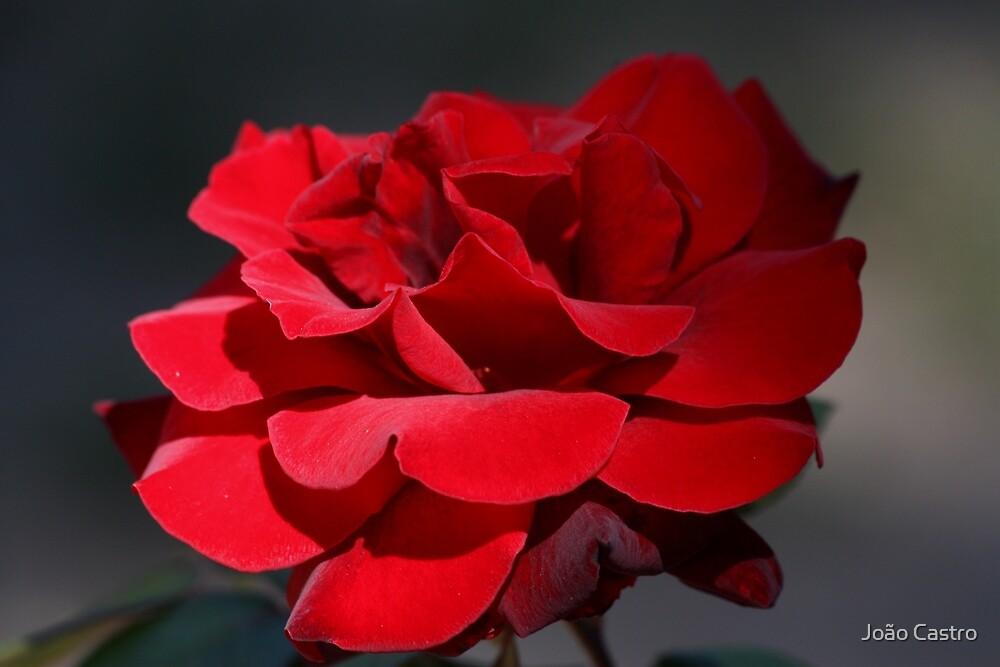 Red Rose 6411 by João Castro