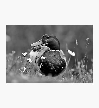 Duck 'N' the daisies Photographic Print