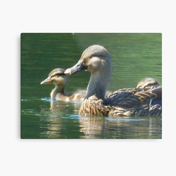 Mother Duck with Duckling 138 Metal Print