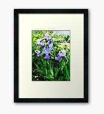Purple Irises in Suburbs Framed Print
