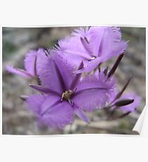 Common Fringe Lily Poster