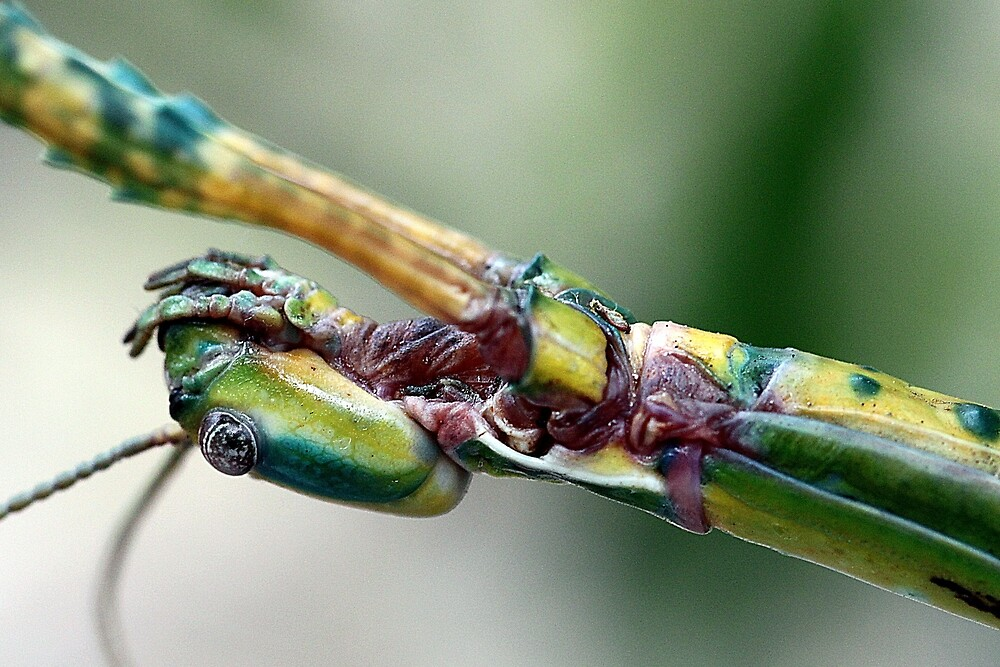 Goliath Stick Insect by EnviroKey