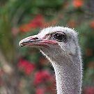 Ostrich by zzsuzsa