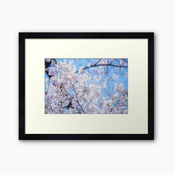 Sakura Hanami Cerisiers en Fleurs Impression encadrée