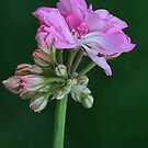 Pink Geranium by Kelly Cavanaugh