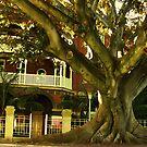 Murray st Morton Bay Fig by strykermeyer