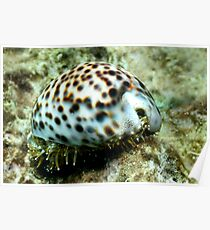 Cowrie Shell Poster
