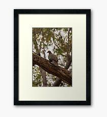 Bronzewing Pigeon Framed Print