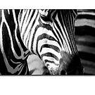 Zebras by Kirk  Hille