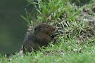 Water Vole ((Arvicola terrestris) by Foxfire