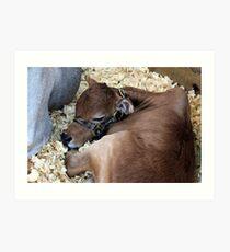 Sleepy Miniature Zebu Calf Art Print