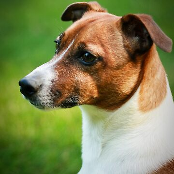 Alex the Jack Russel by StaceyD