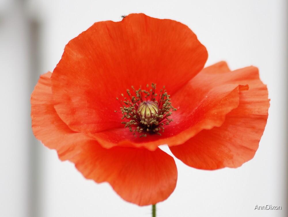 The Common Poppy by AnnDixon