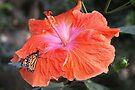 Monarch on Hibiscus by Jo Nijenhuis