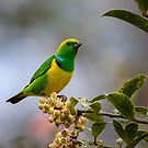 Golden-browed Chlorophonia by Rob Lavoie
