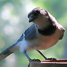 Blue Jay by DottieDees