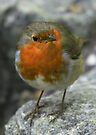 Christmas Robin 1 by Peter Barrett