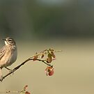 Flappet lark by Yves Roumazeilles