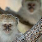 Vervet monkeys by Yves Roumazeilles