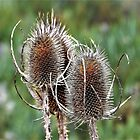 Common Teasel Seed Pods – Baker County, OR by Rebel Kreklow