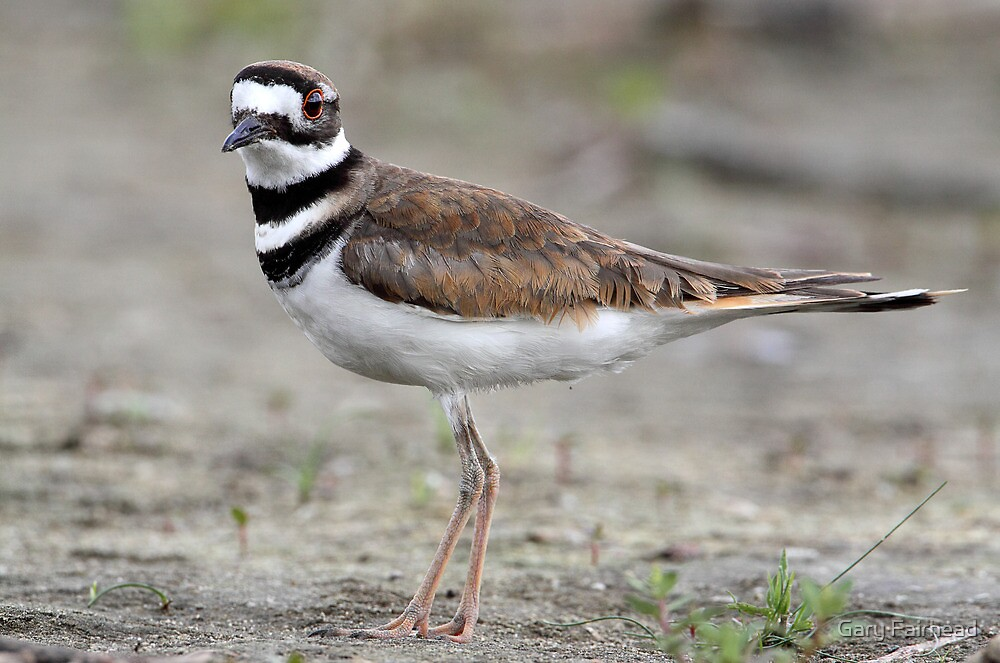 They Don't Really Do They? / Killdeer by Gary Fairhead