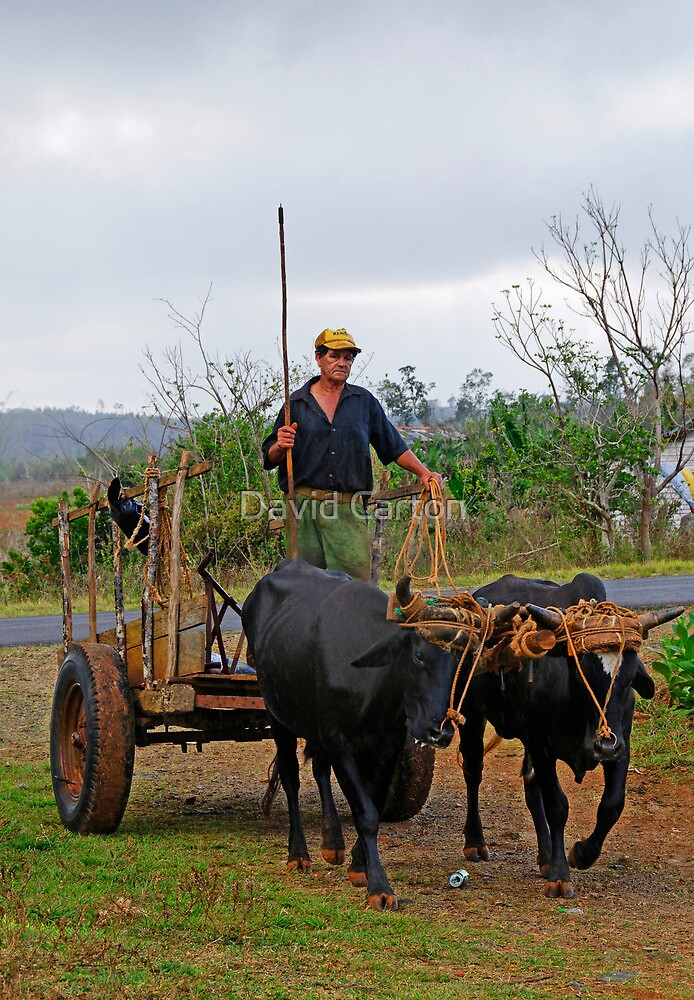 Ox drawn cart, Vinales, Cuba by David Carton