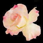 Pink Rose on plain black background by Vickie Burt