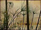 Papyrus - Nile Grass - Cyperus papyrus by MotherNature