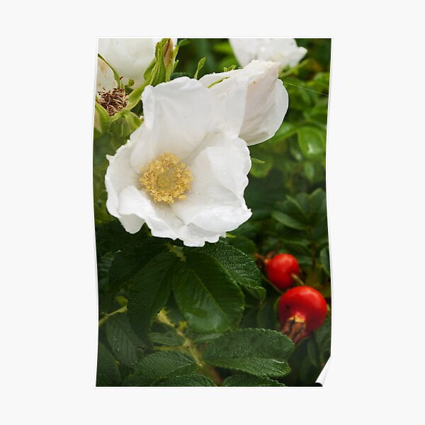 White Dune Rose - after the rain Poster
