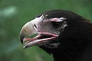 Wedge-Tailed Eagle Portrait by Carole-Anne