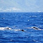 Whale Watching in the Caribbean by stine1