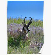 Antelope buck Poster