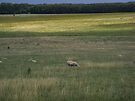Sheep in a Field by ValeriesGallery