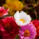 Portulaca by Robin Webster