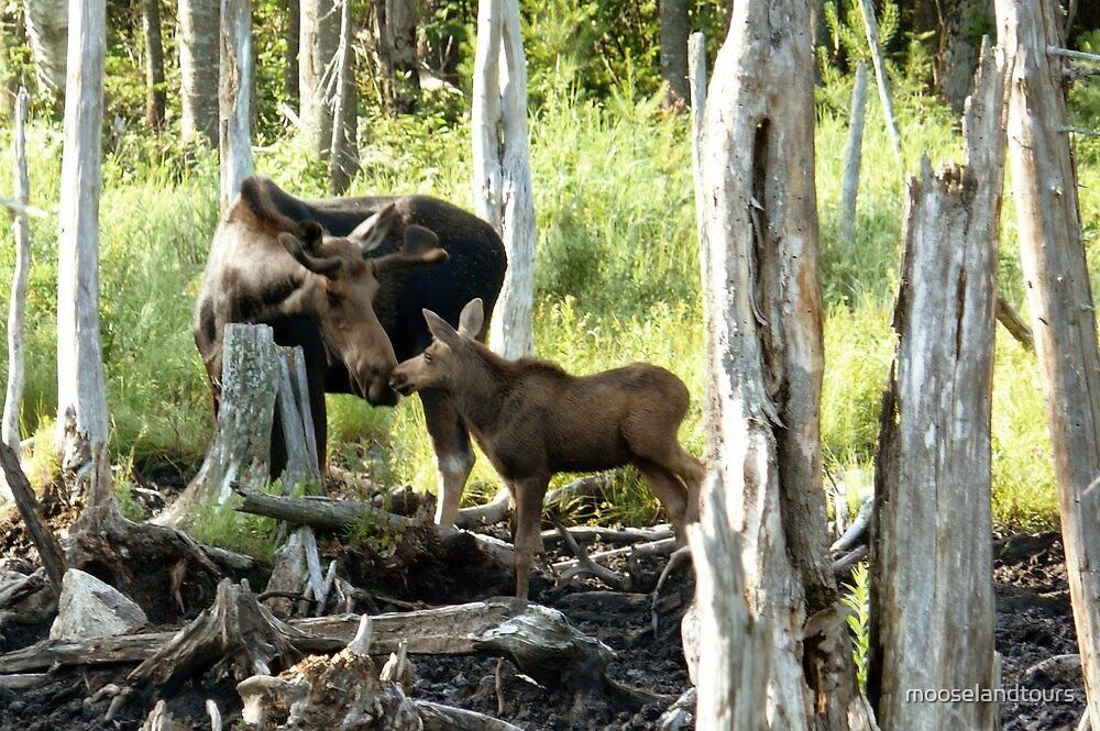 Bull Moose & Baby Moose by mooselandtours